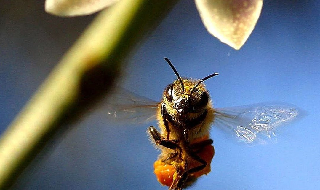 Honeybee Extinction Affects Us All